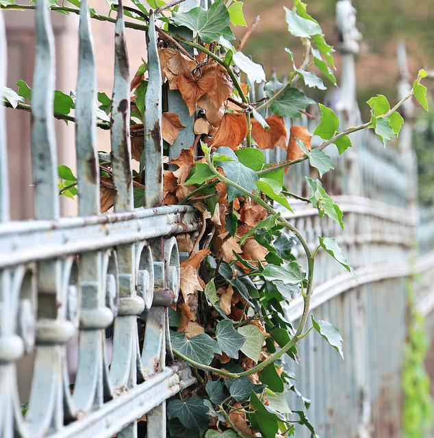 Fence, Ivy, Iron, Metal, Grid, Limit, Old