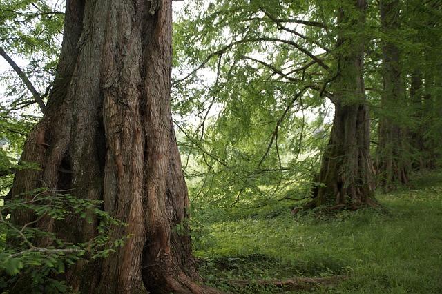 Sequoia, Trees, Avenue, Bark, Old, Mainau