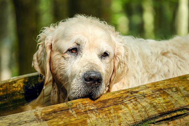 Golden Retriever, Dog, Retriever, Male, Old