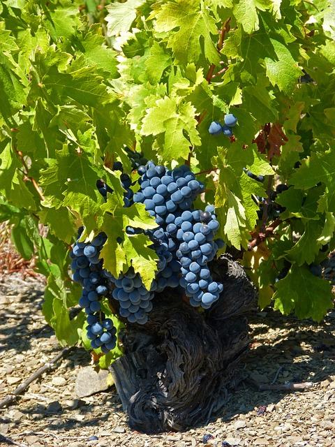 Vine, Old Vineyard, Priorat, Slate, Llicorella