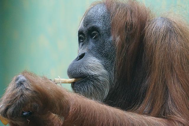 Orang-utan, Primate, Monkey, Old World Monkey, Ape