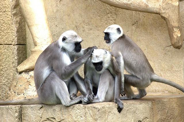 Green Monkeys, Monkey, Old World Monkey, Monkey Family