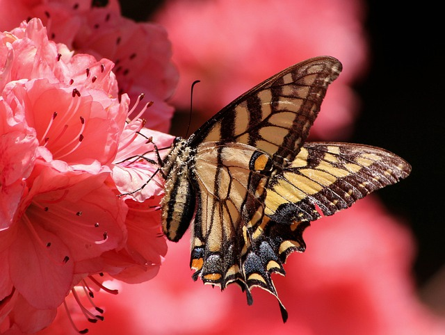 Butterfly, Flying Insect, Old World Swallowtail, Pollen