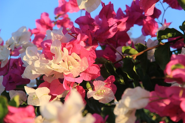 Flowers, Bush, Pink, White, Oleander