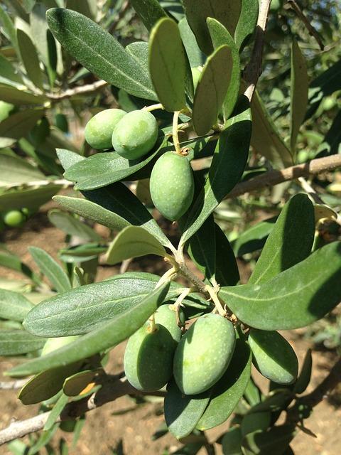 Olives, Olive Tree, Sicily, Oelfrucht, Olive Branch