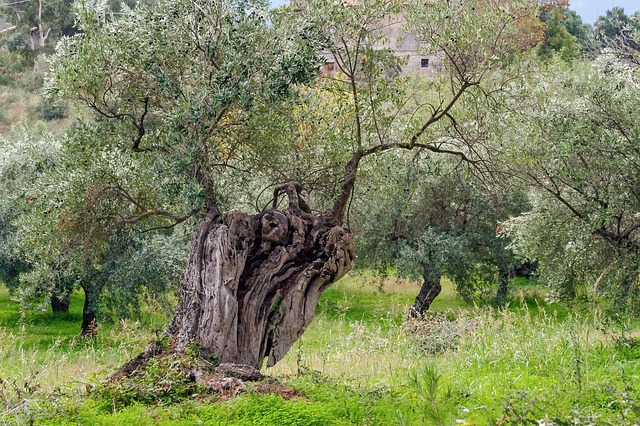 Olive Tree, Tree, Olive Grove, Agriculture