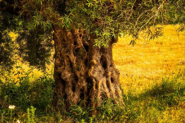 Olive Tree, Tribe, Tree, Old, Log, Olives