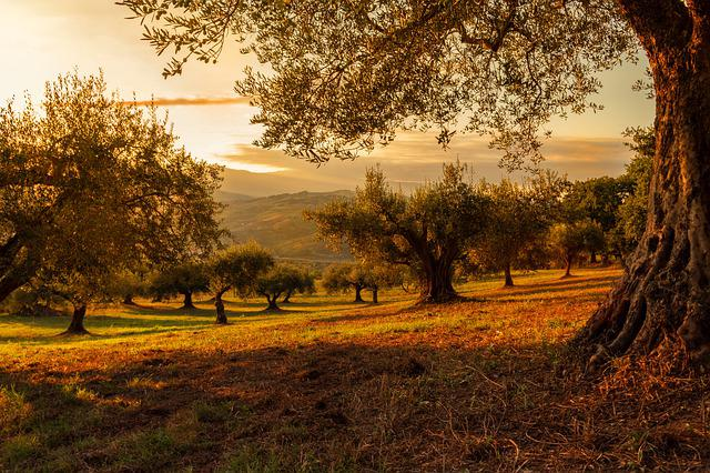 Plantation, Sunset, Nature, Plants, Landscape, Olives