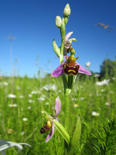 Ophrys Apifera, Bee Orchid, Ophrys, Wildflower, Flora