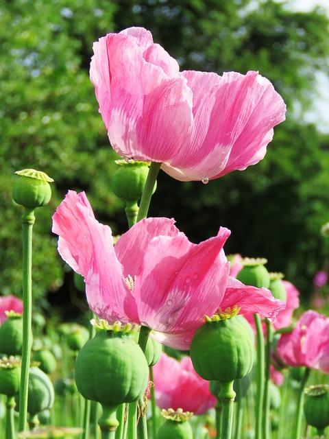 Poppy, Opium Poppy, Mohngewaechs, Pink, Poppy Capsule