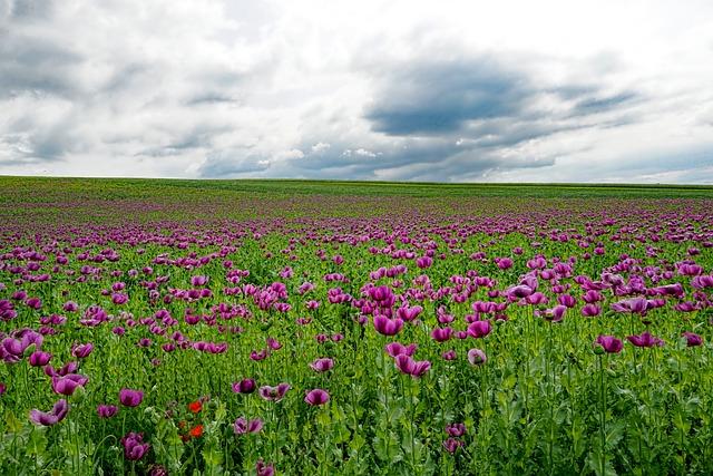 Field Of Poppies, Opium Poppy, Poppy Flower