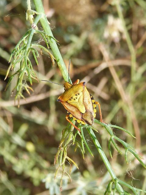 I Pentatomid, Dolycoris Baccarum, Beetle, Orange