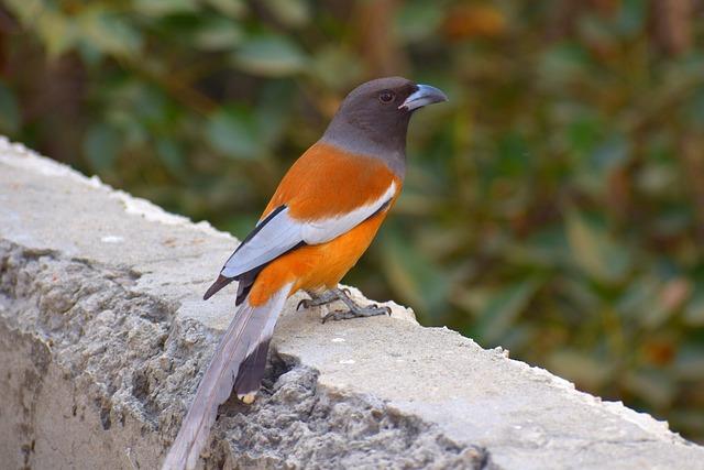 Common Chaffinch, Orange Bird, Bird, Nature