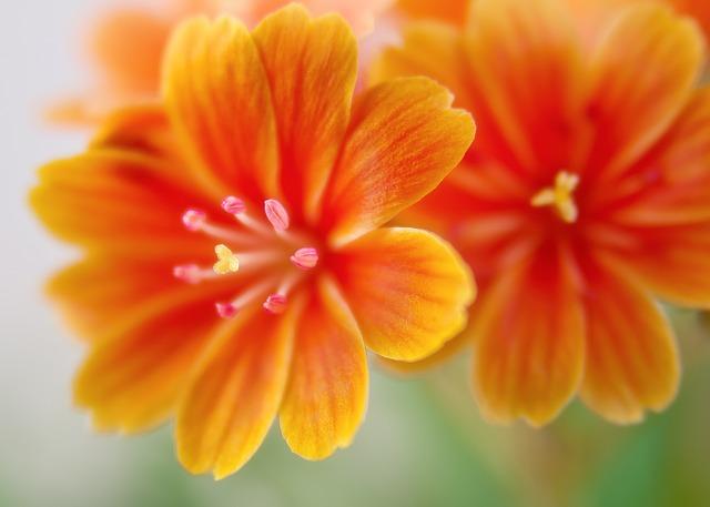 Lewisia, Bitterwurz, Blossom, Bloom, Orange, Bright