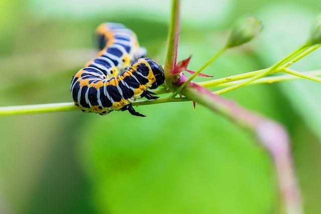 Caterpillar, Cos-monk, Cucullia Lactucae, Orange, Black