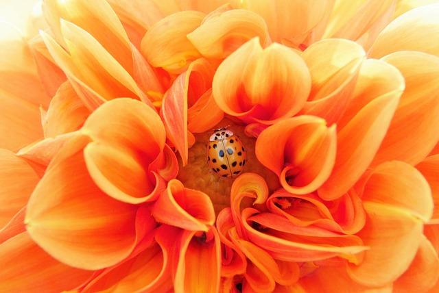 Dahlia, Orange, Colorful, Bright, Beetle, Flower