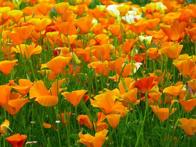 Iceland Poppy, Flowers, Orange, Mohngewaechs, Bright