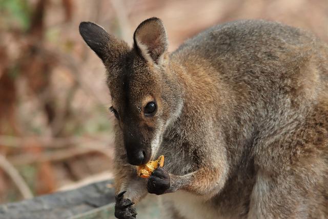 Rock Wallaby, Eating, Orange, Marsupial, Native