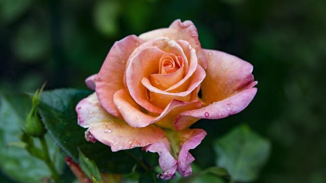 Rose, Rose Bloom, Floribunda, Rose Blooms, Orange