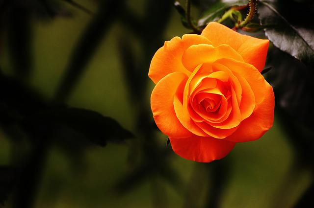 Rose, Orange, Blossom, Bloom, Flower, Orange Roses