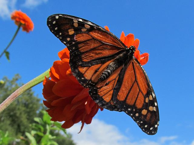 Butterfly, Flower, Orange, Garden, Monarch