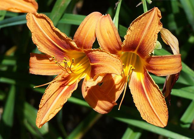 Day Lily Pair, Lily, Orange, Flower, Blossom, Bloom