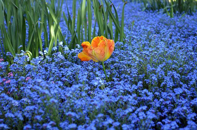 Blue, Orange, Green, Tulip, Forget Me Not, Flowers