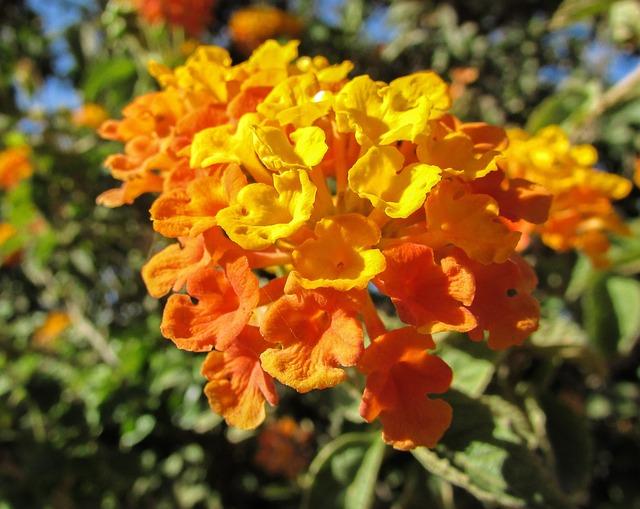 Lantana Camara, Flowers, Garden, Colorful, Orange