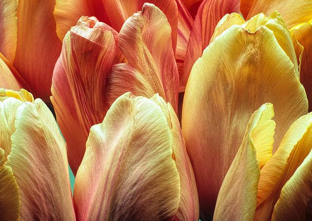 Flowers, Tulips, Macro, Bloom, Orange