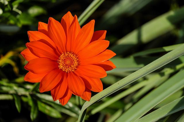 Gazania, Flower, Flowers, Bright, Orange, Evening Sun