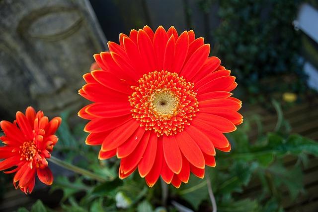 Gerbera, Flower, Flowers, Orange