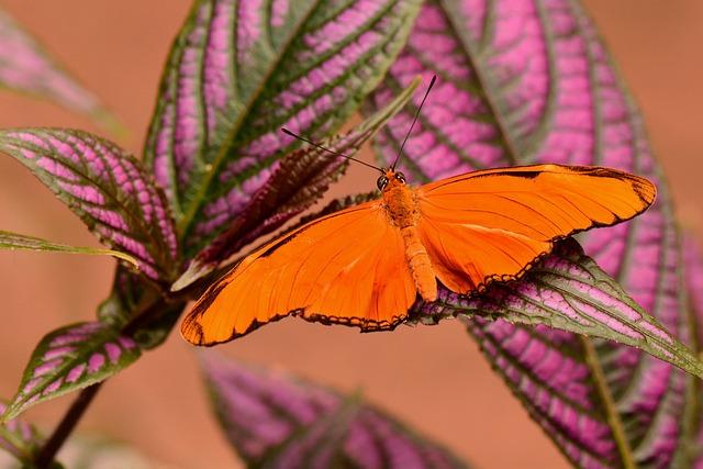 Orange Julia, Butterfly, Wings, Wingspan