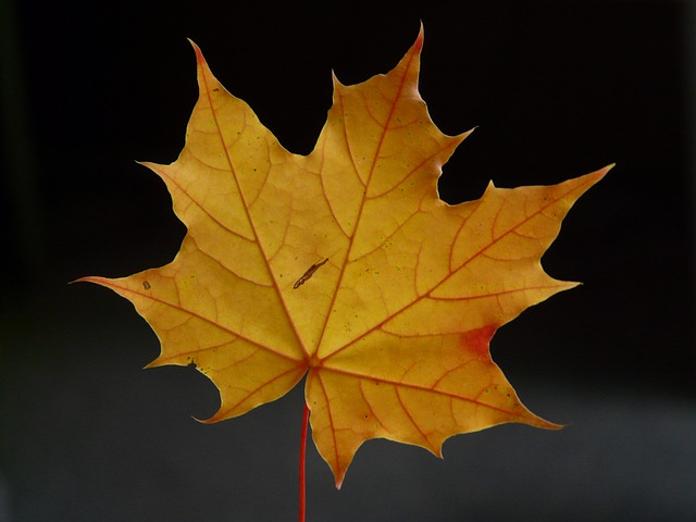 Maple Leaf, Leaf, Coloring, Maple, Red, Orange