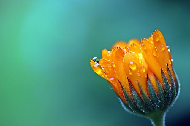 Marigold, Calendula, Orange, Blossom, Bloom