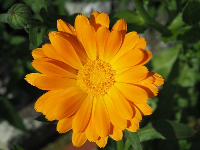Marigold, Orange, Gardening, Calendula Officinalis
