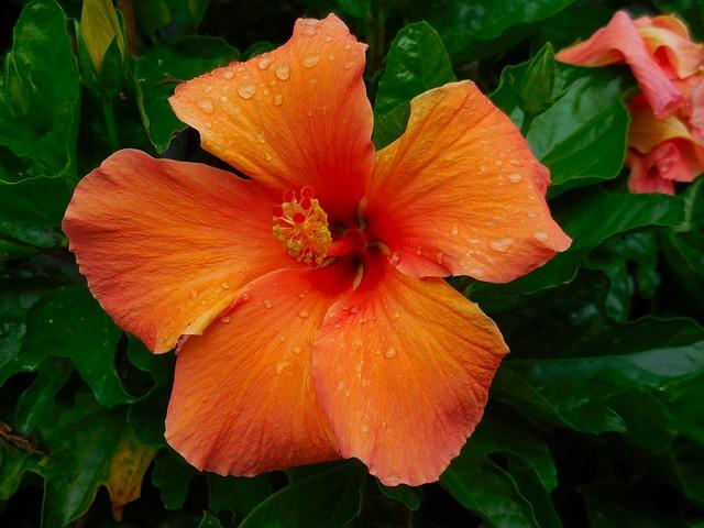 Hibiscus, Orange, Nature, Flower, Blossom, Bloom, Plant