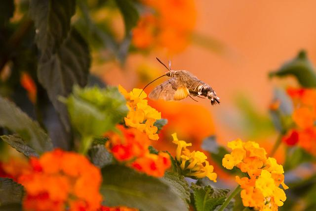 Hummingbird Hawk Moth, Orange, Nectar