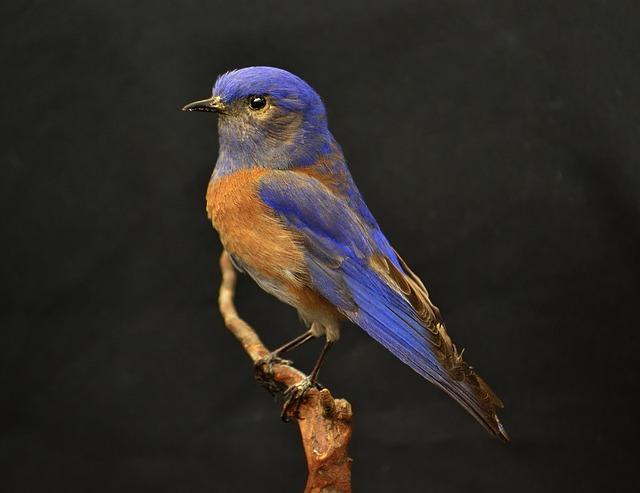 Western, Bluebird, Blue, Bird, Brown, Orange, Perched