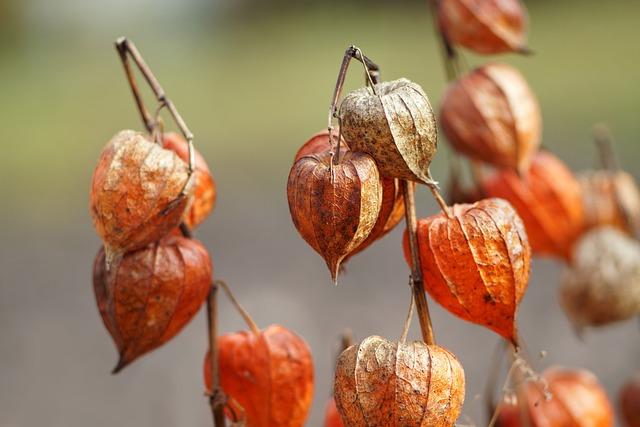 Tomatillo, Autumn, Lantern, Nature, Orange, Plant