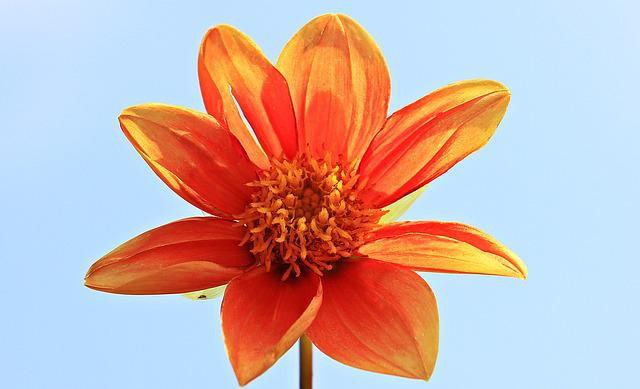 Dahlia, Flower, Blossom, Bloom, Orange, Nature, Plant