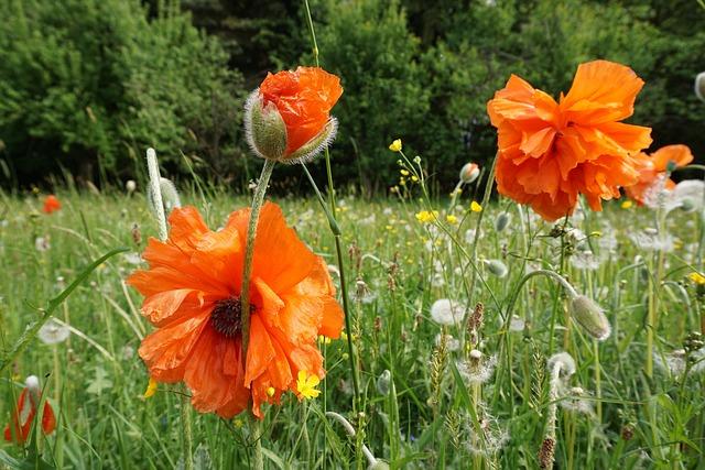 Poppy Flower, Orange, Nature, Spring
