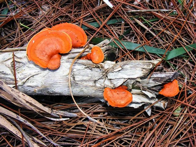 Pycnoporus Cinnabarinus, Cinnabar Polypore, Orange