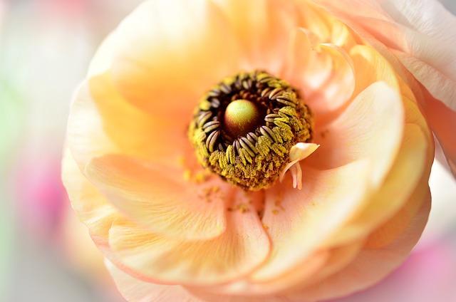 Flowers, Ranunculi, Ranuncula, Yellow, Orange, Bloom