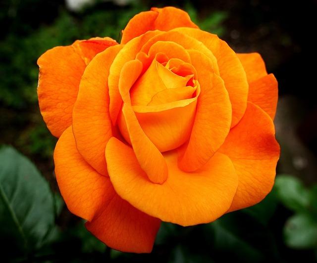 Rose, Flower, Bloom, Nature, Orange, Colorful, Petals