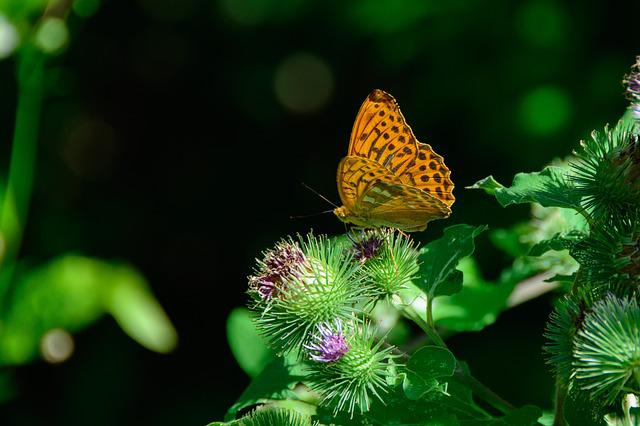 Silver-bordered Fritillary, Butterfly, Nature, Orange