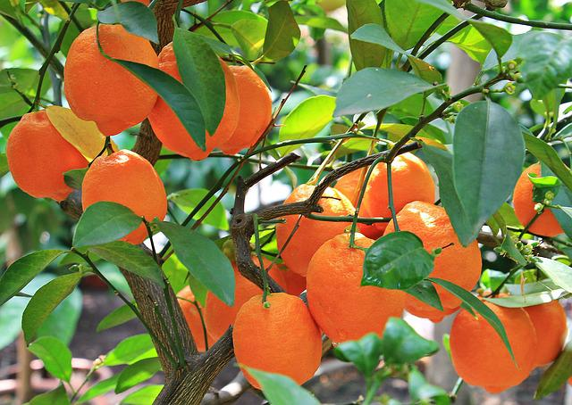 Oranges, Citrus Fruits, Fruits, Fruit, Orange Tree