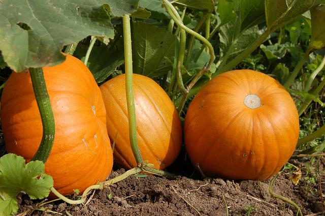 Pumpkin, Vegetable Garden, Harvest, Orange, Fruit, Land