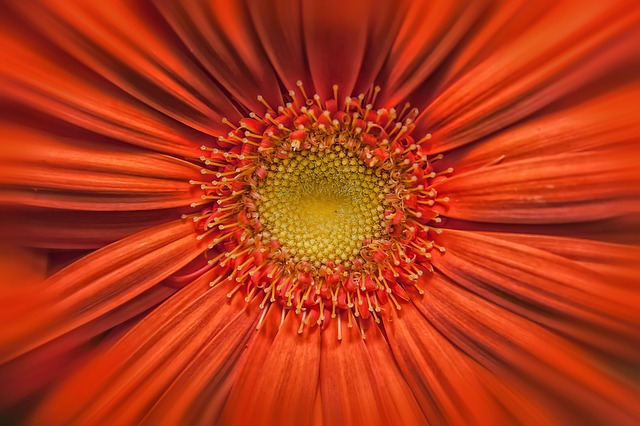 Gerbera, Orange, Yellow, Blossom, Bloom, Close, Flower