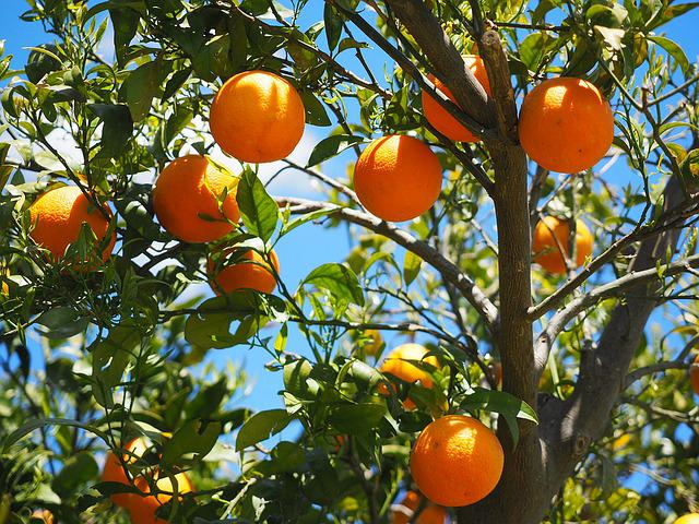 Oranges, Fruits, Orange Tree, Citrus Fruits, Tree