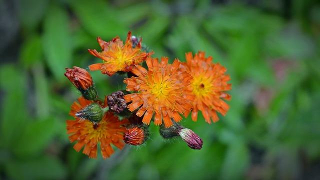 Orangrotes Hawkweed, Hieracium Aurantiacum, Blossom